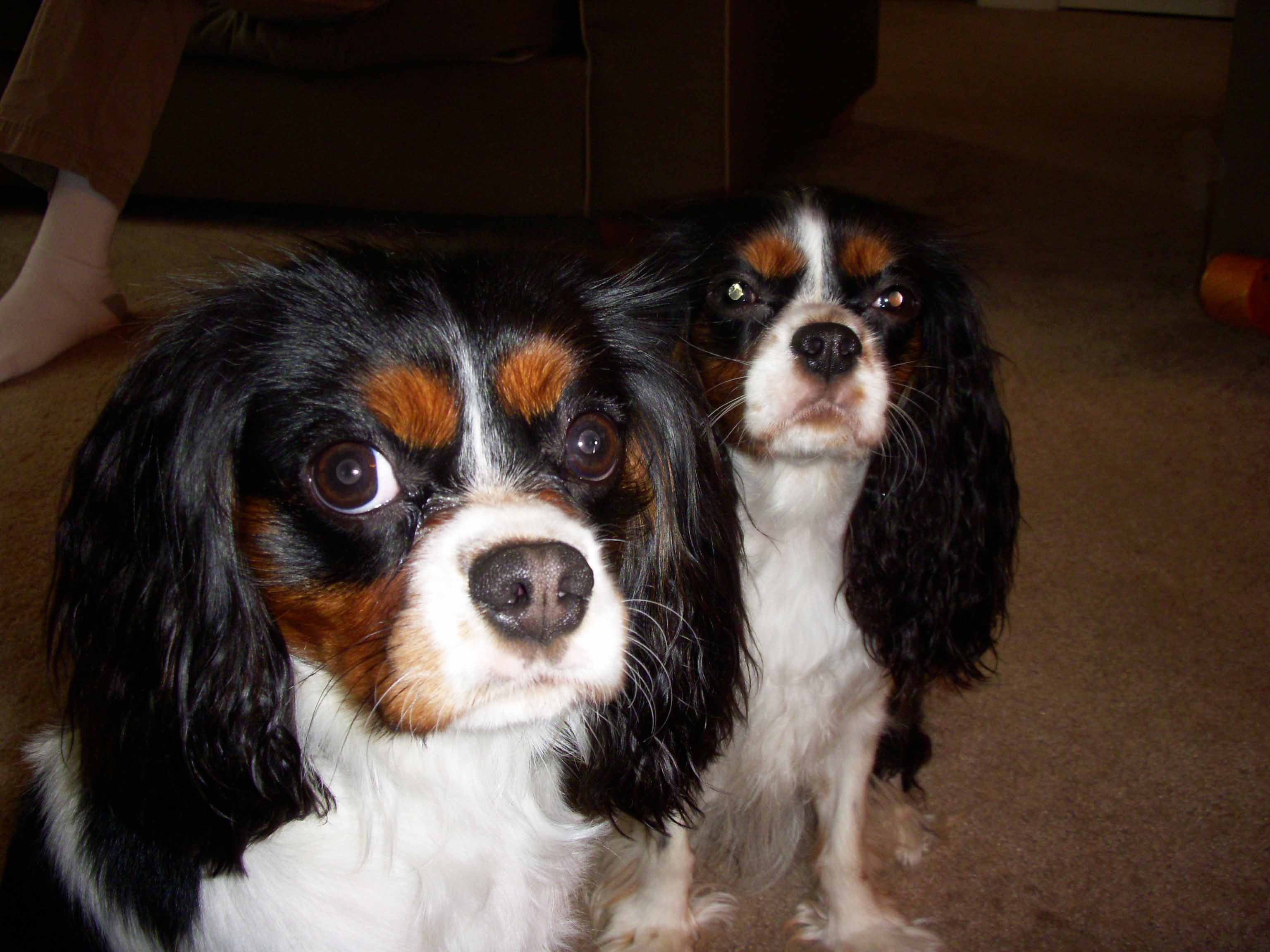 Cavalier King Charles Spaniel: reviews, breed description, character, standards 86