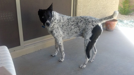Sparky the Australian Shepherd/Dalmatian mix